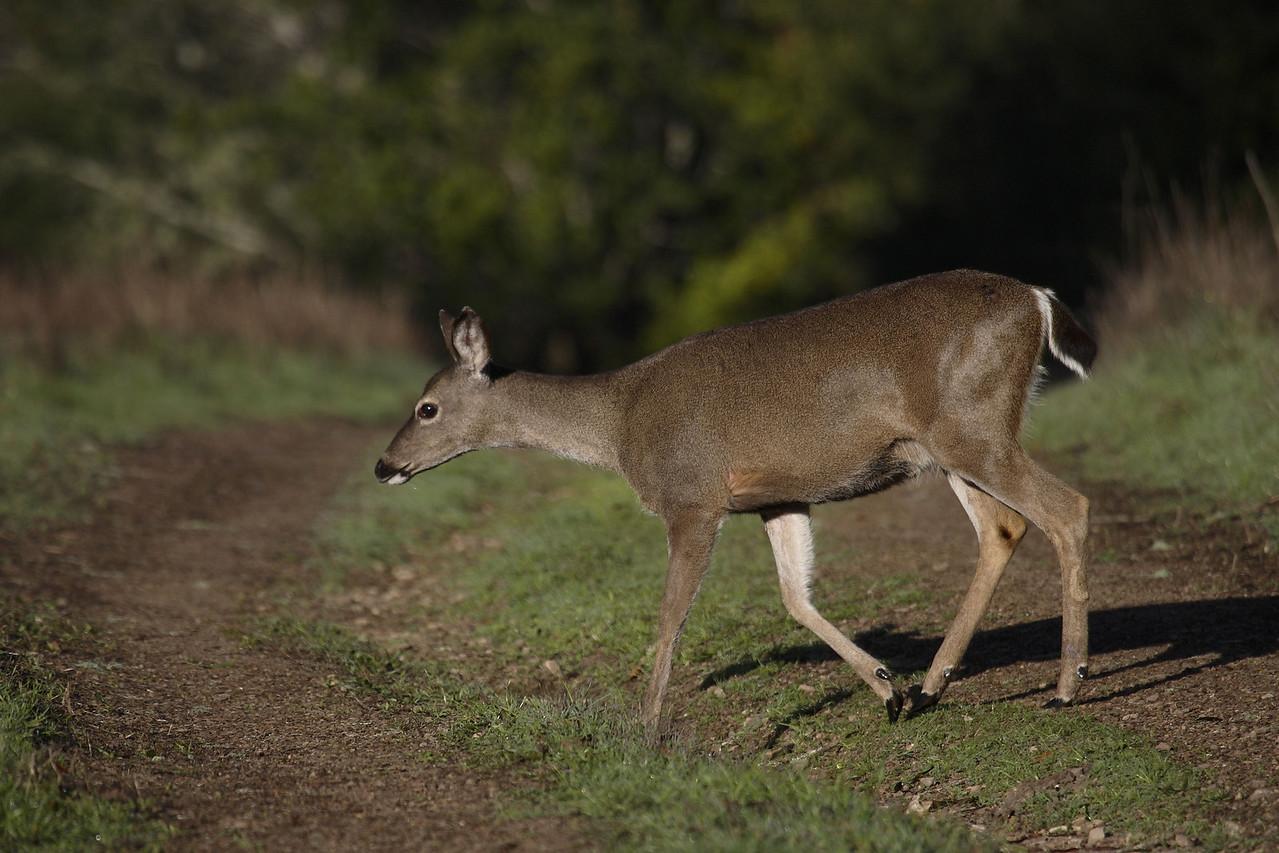 Blacktailed deer, Point Reyes, 02.19.07