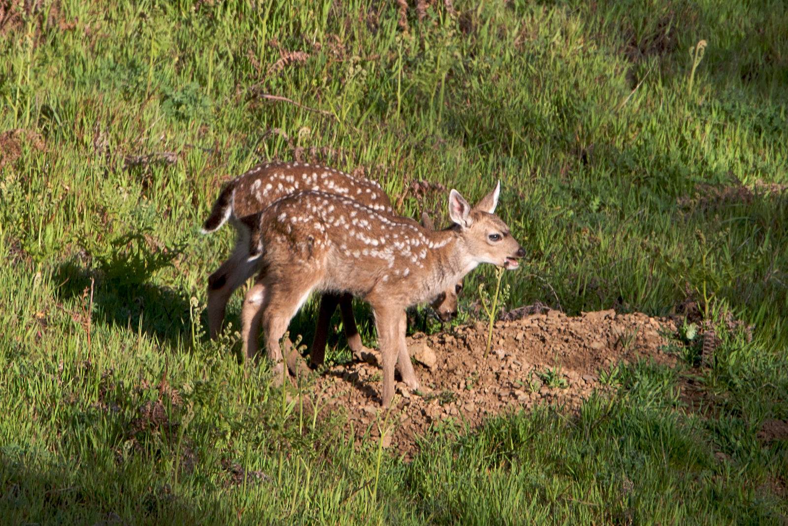 Blacktailed deer fawns eating dirt