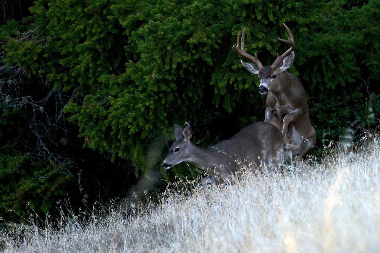Black-tailed deer mating