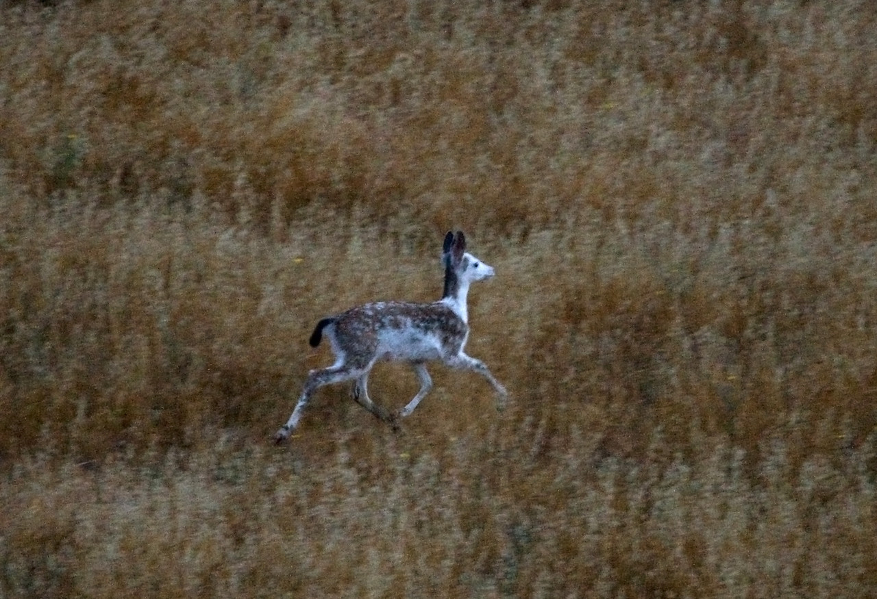 San Rafael. Unusual sighting this morning in murky predawn light, Blacktailed deer-piebald, 071808
