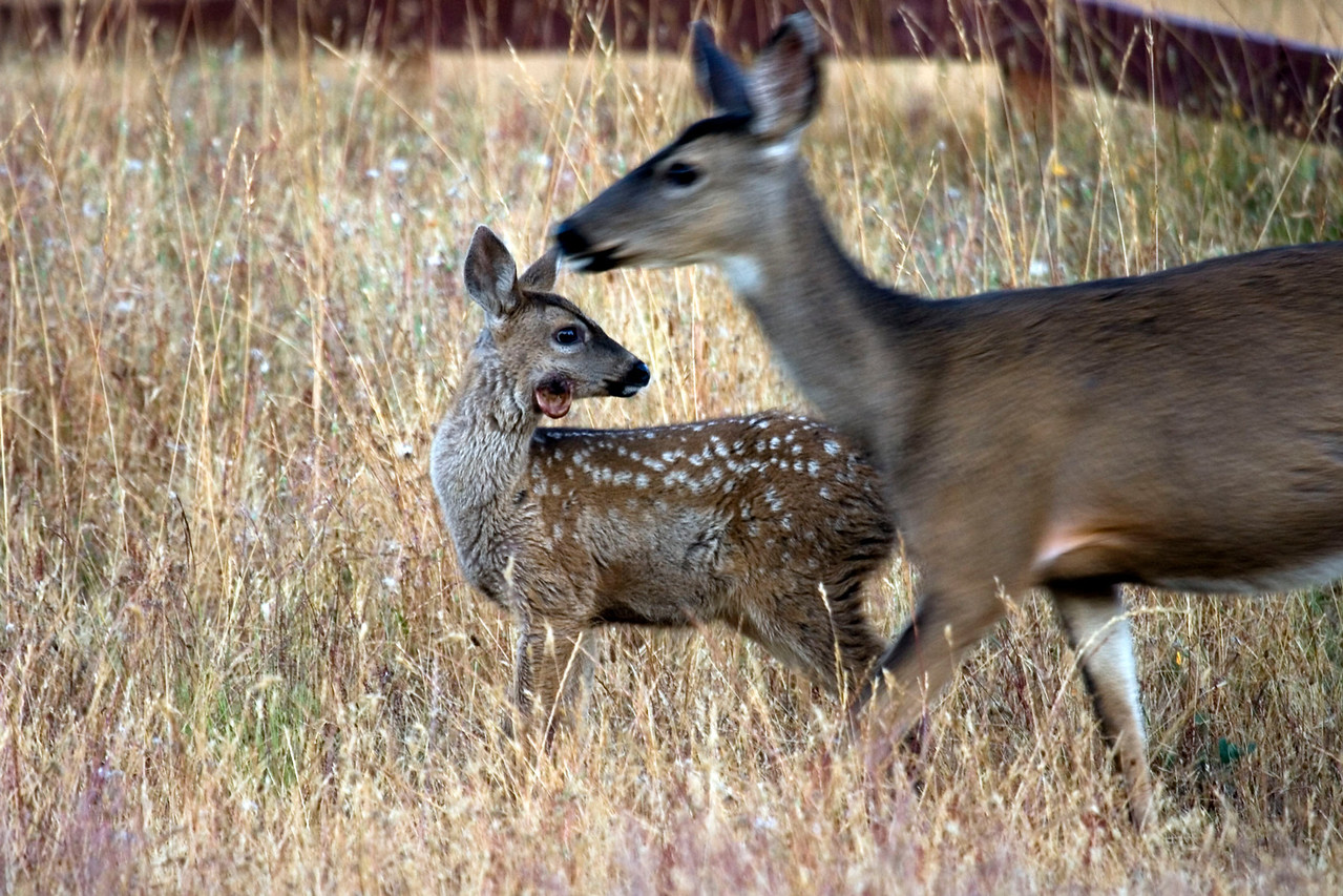 Black-tailed doe and fawn with wound, Point Reyes