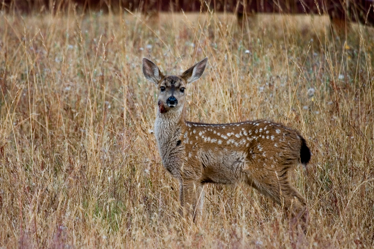Black-tailed fawn with wound, Point Reyes