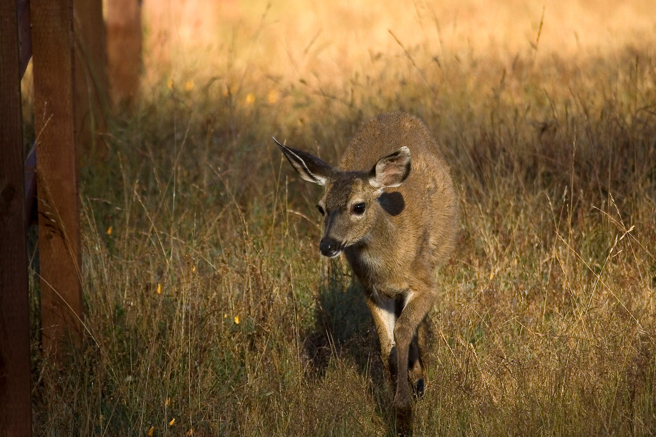 Blacktailed deer, Point Reyes