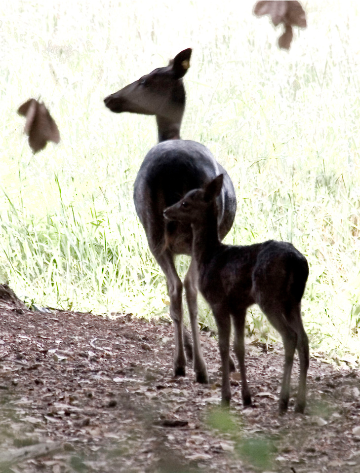 Fallow deer (#5) and fawn, Point Reyes, 06.18.07