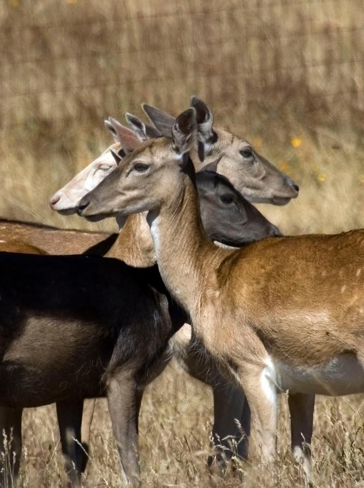 Fallow deer, Point Reyes, 07.15.07