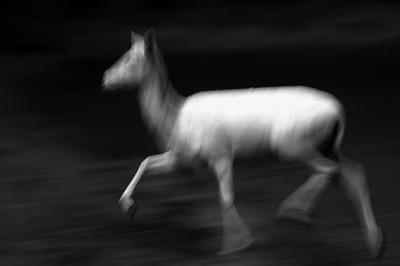 Fallow Deer, Pt. Reyes, 11.14.05