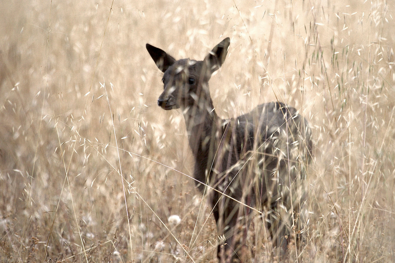 Fallow fawn, Point Reyes, 6/29