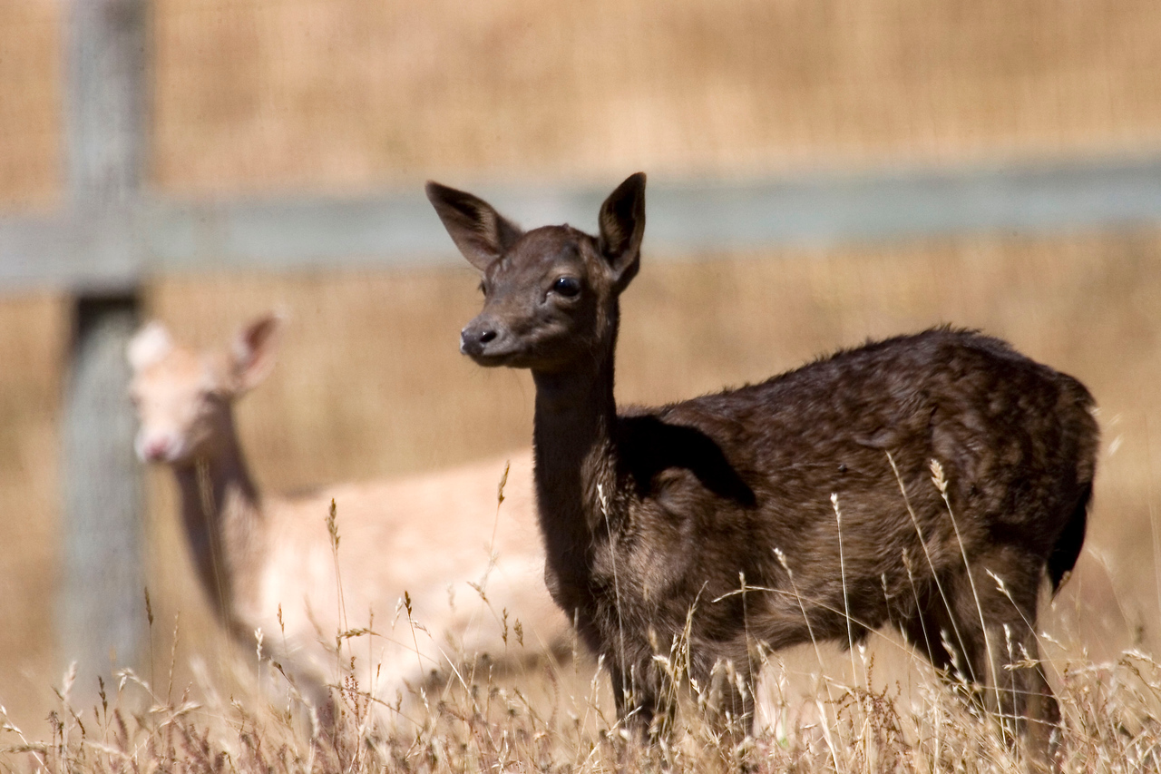 Fallow deer fawns, Point Reyes National Seashore, 7/15