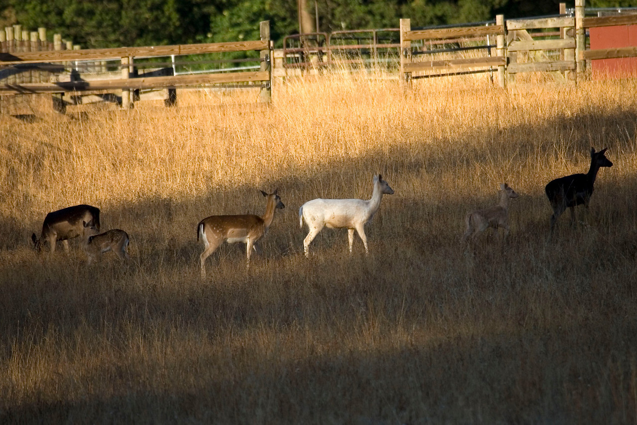 Different shades of Fallow deer, Point Reyes, 07.02.07