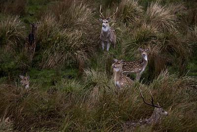 Axis deer, Point Reyes NS, 01.24.08