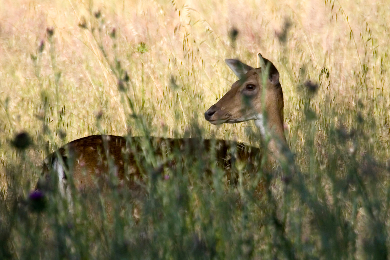 Fallow deer, Divide Meadow, Point Reyes, 06.18.07