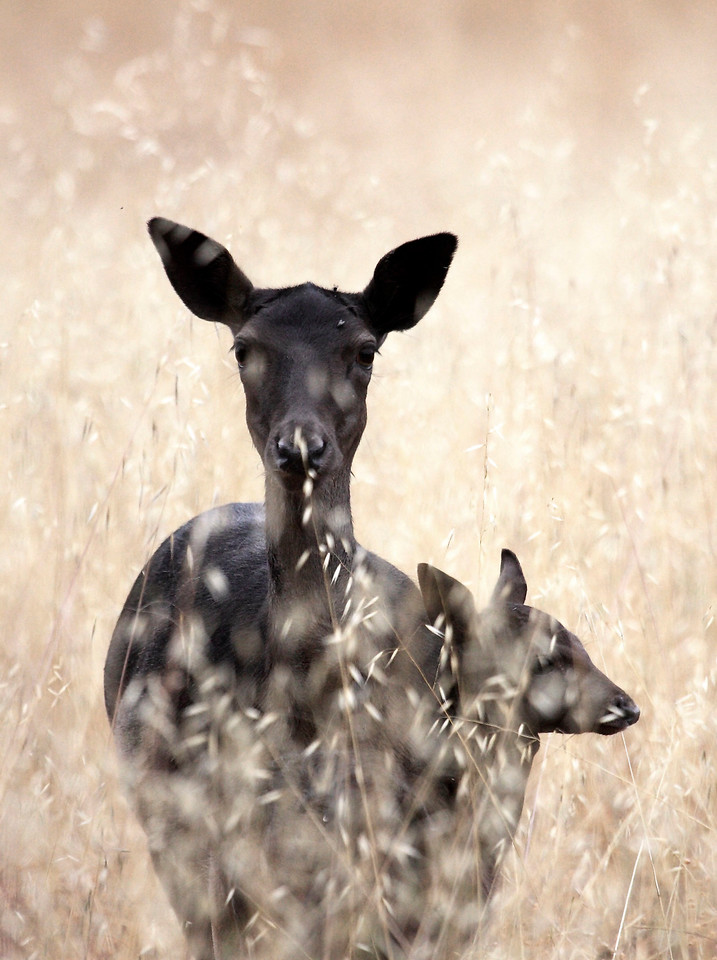 Fallow deer and fawn, Point Reyes, 6/29