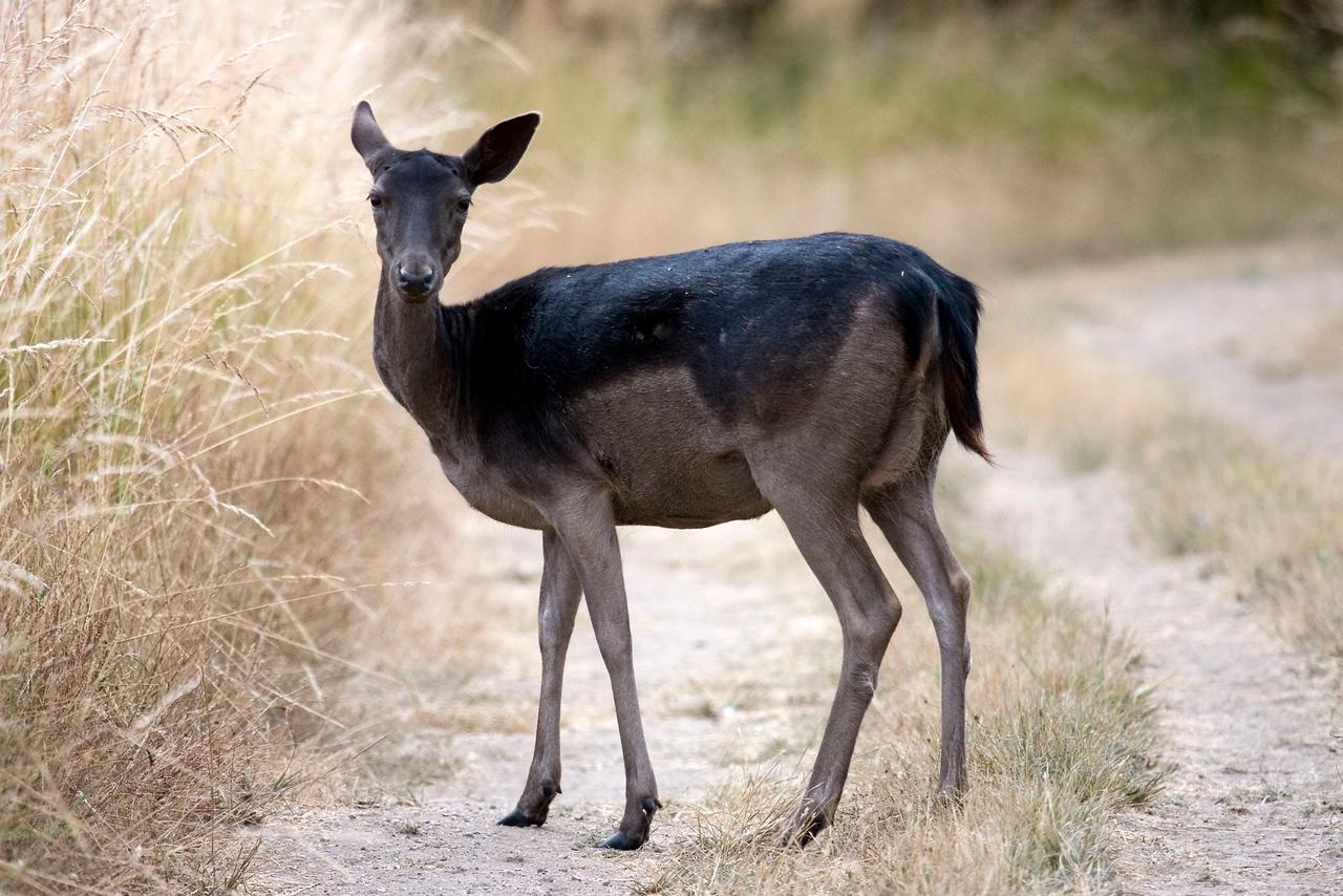 Fallow deer on Rift Zone trail, Point Reyes, 07.03.07