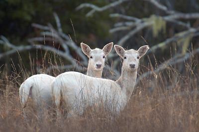 Fallow Deer, Pt. Reyes, 11.28.05