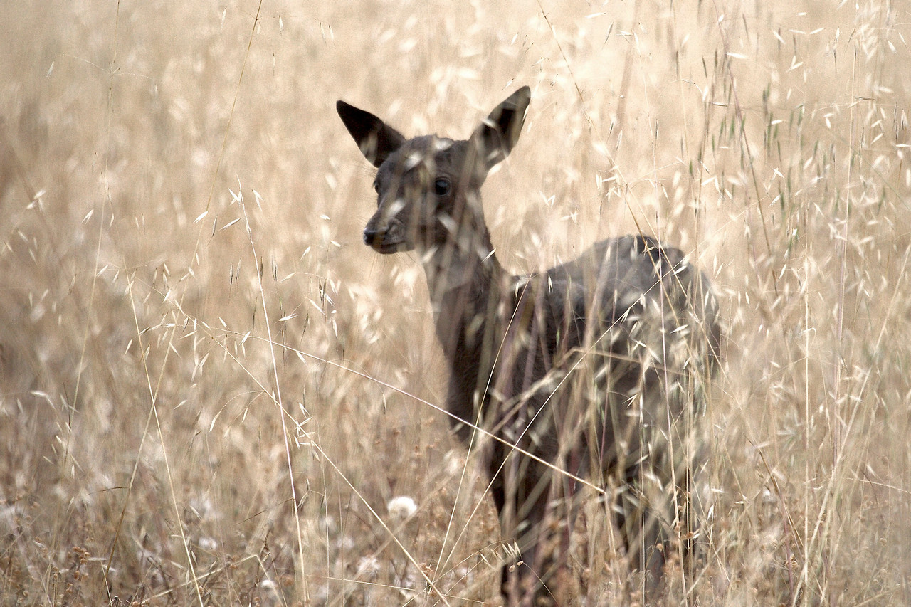 Fallow fawn, Point Reyes, 06.29.07