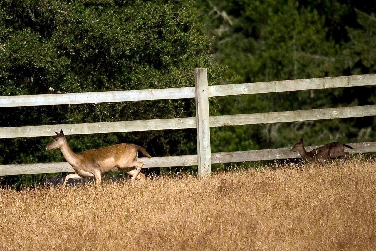 Fallow doe and fawn, Point Reyes, 06.24.07