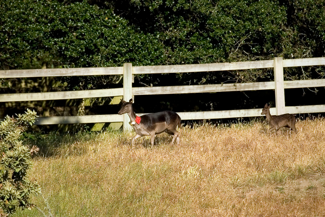 Fallow doe (#5) and fawn, Point Reyes, 06.24.07