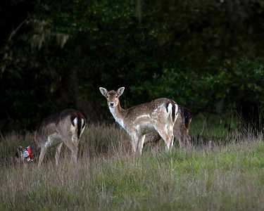 Fallow deer, Vedanta, 03.02.08
