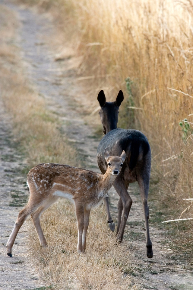 Fallow deer and fawn, Point Reyes, 07.08.07