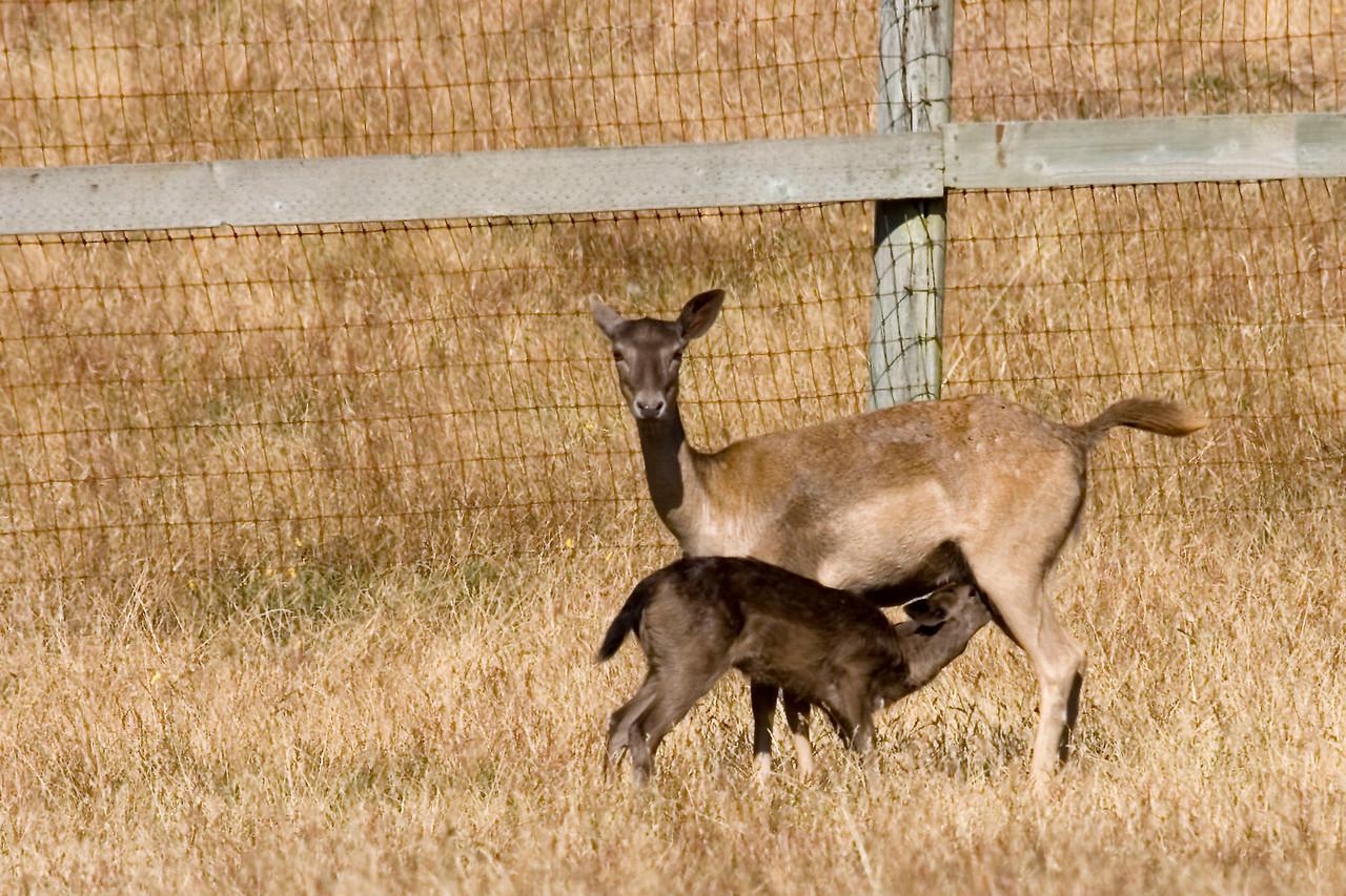Fallow deer and nursing fawn, Point Reyes,  07.05.07