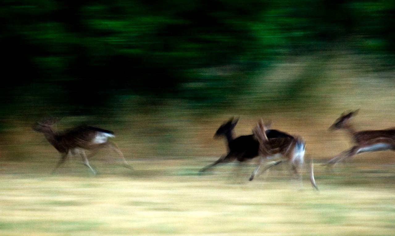 Fallow fawns running, Point Reyes dawn, 07.04.07