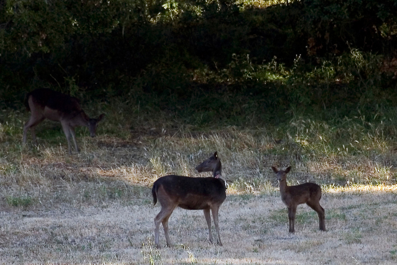 Fallow deer (#5) with fawn, Point Reyes, 06.25.07