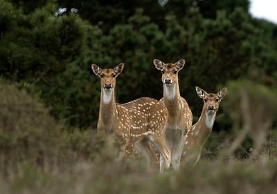 Axis deer, Point Reyes, 12.02.07