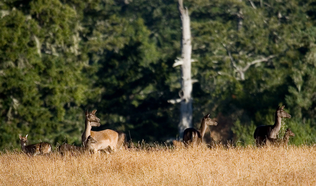 Fallow deer and fawns, Point Reyes, 06.24.07