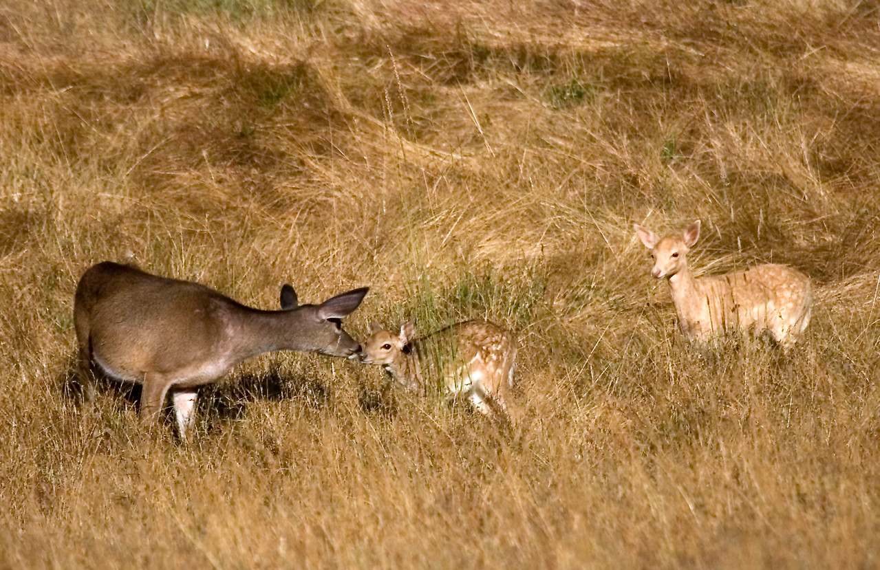 Blacktailed deer touching noses with a Fallow deer fawn, Point Reyes, 07.02.07
