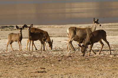 Mule Deer Crowley Lake 2012 10 25 (1 of 3).CR2