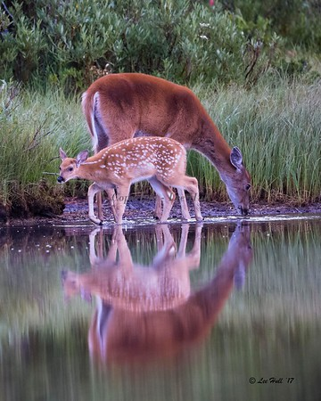 Whitetail Deer, Doe and Fawn - Reflections