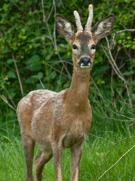 Roe Deer (Capreolus capreolus)<br /> Itchen Valley Country Park