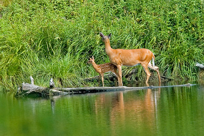 White-tailed Deer - doe & fawn - Itasca County, MN