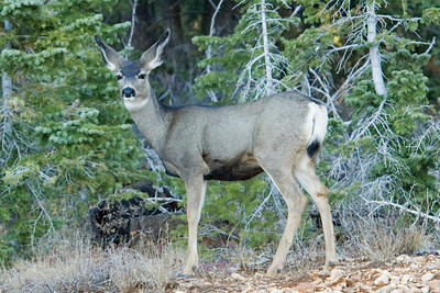 Mule Deer - doe - Bryce Canyon National Park - UT