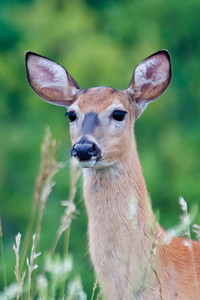 White-tailed Deer - Cohasset, MN