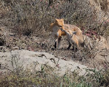 Mother fox greeting kit