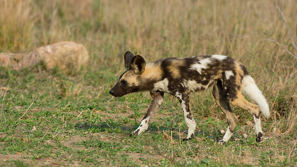 Wild Dog, Kruger NP, SA, Sept 2015-3