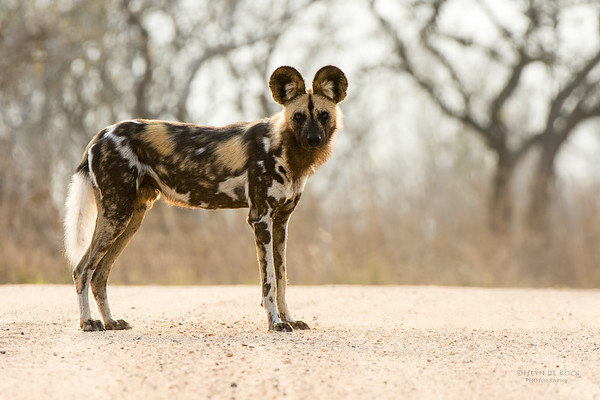 Wild Dog, Kruger NP, SA, Sept 2015