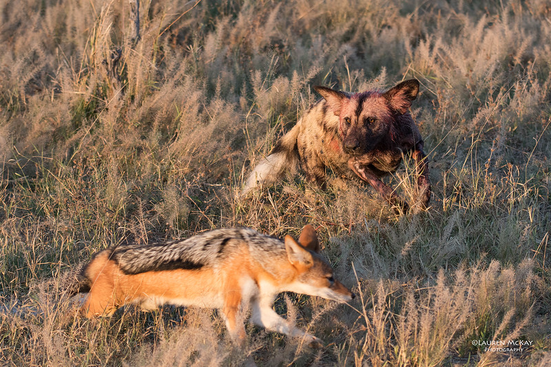 African Wild Dog & Black-backed Jackal, Savuti, Chobe NP, Botwana, May 2017-10 copy