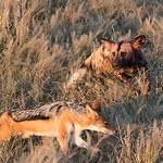 African Wild Dog & Black-backed Jackal, Savuti, Chobe NP, Botwana, May 2017-10 copy