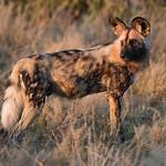 African Wild Dog, Savuti, Chobe NP, Botwana, May 2017-8