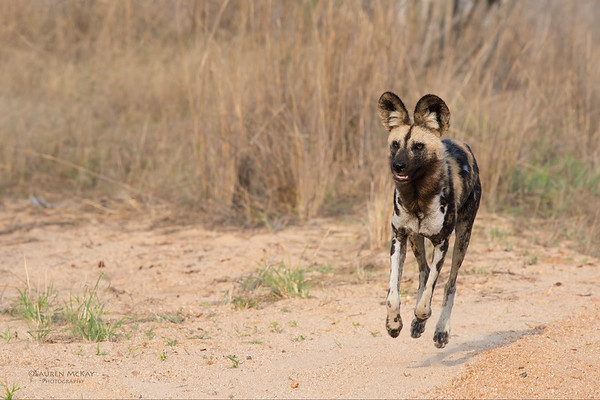 Wild Dog, Kruger NP, SA, Sept 2015-4