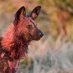 African Wild Dog, Savuti, Chobe NP, Botwana, May 2017-14