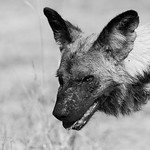 African Wild Dog, b&w, Khwai River Concession, Botwana, May 2017-21