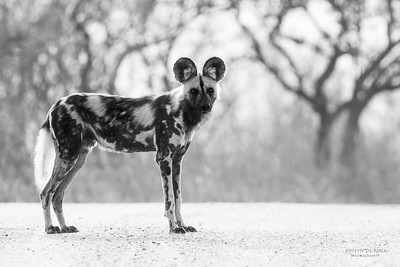 Wild Dog, Kruger NP, SA, Sept 2015-3b&w