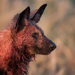 African Wild Dog, Savuti, Chobe NP, Botwana, May 2017-5