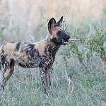 African Wild Dog, Khwai River Concession, Botwana, May 2017-16
