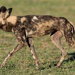 African Wild Dog, Khwai River Concession, Botwana, May 2017-11