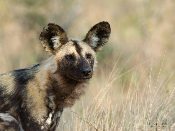 Wild Dog, Kruger NP, SA, Sept 2015-1