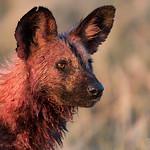 African Wild Dog, Savuti, Chobe NP, Botwana, May 2017-6